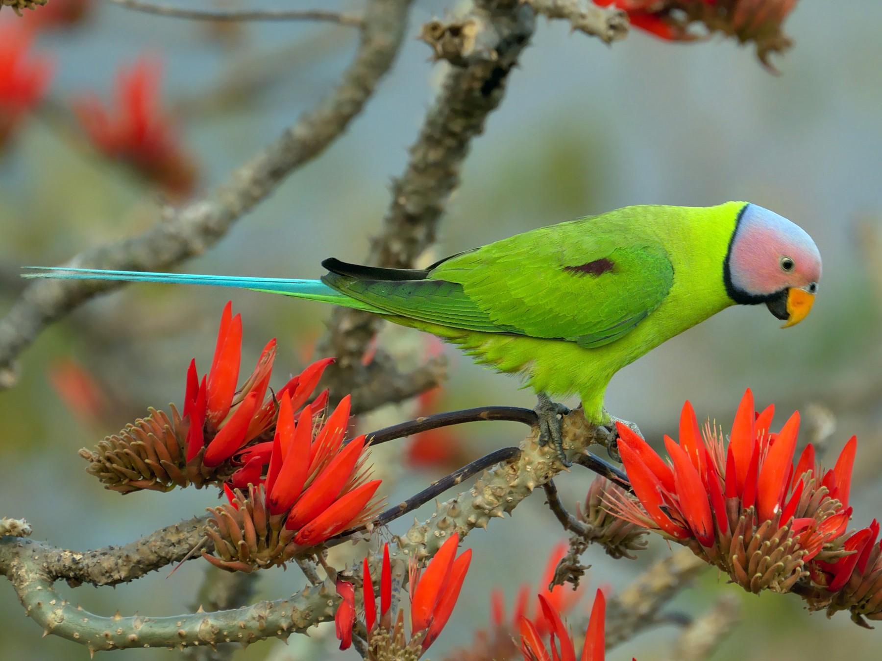 Blossom-headed Parakeet - Abdul Mazid Shah