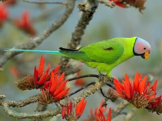 - Blossom-headed Parakeet