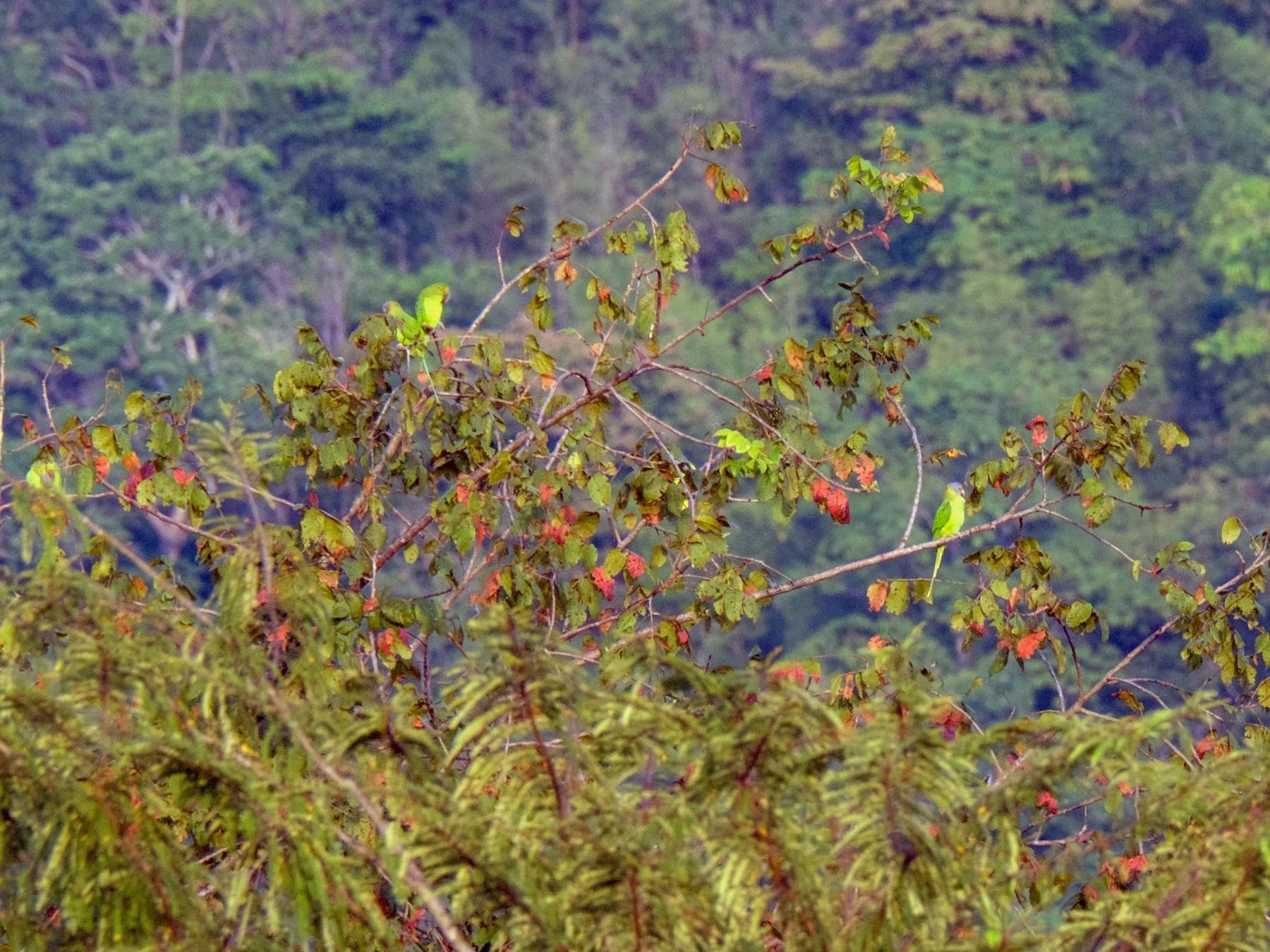 Blossom-headed Parakeet - Robert Johnson