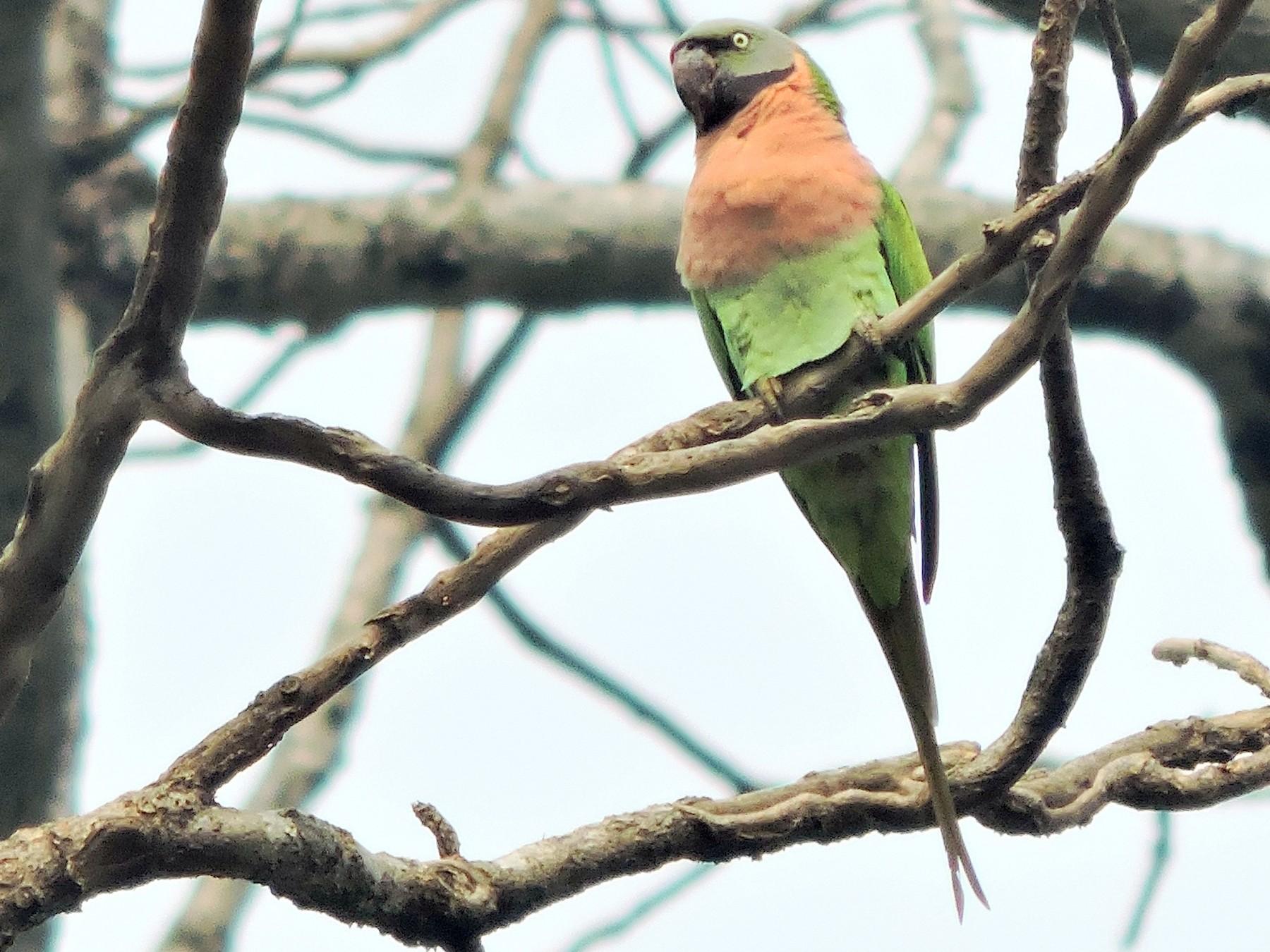 Red-breasted Parakeet - Tanmoy  Das Gupta
