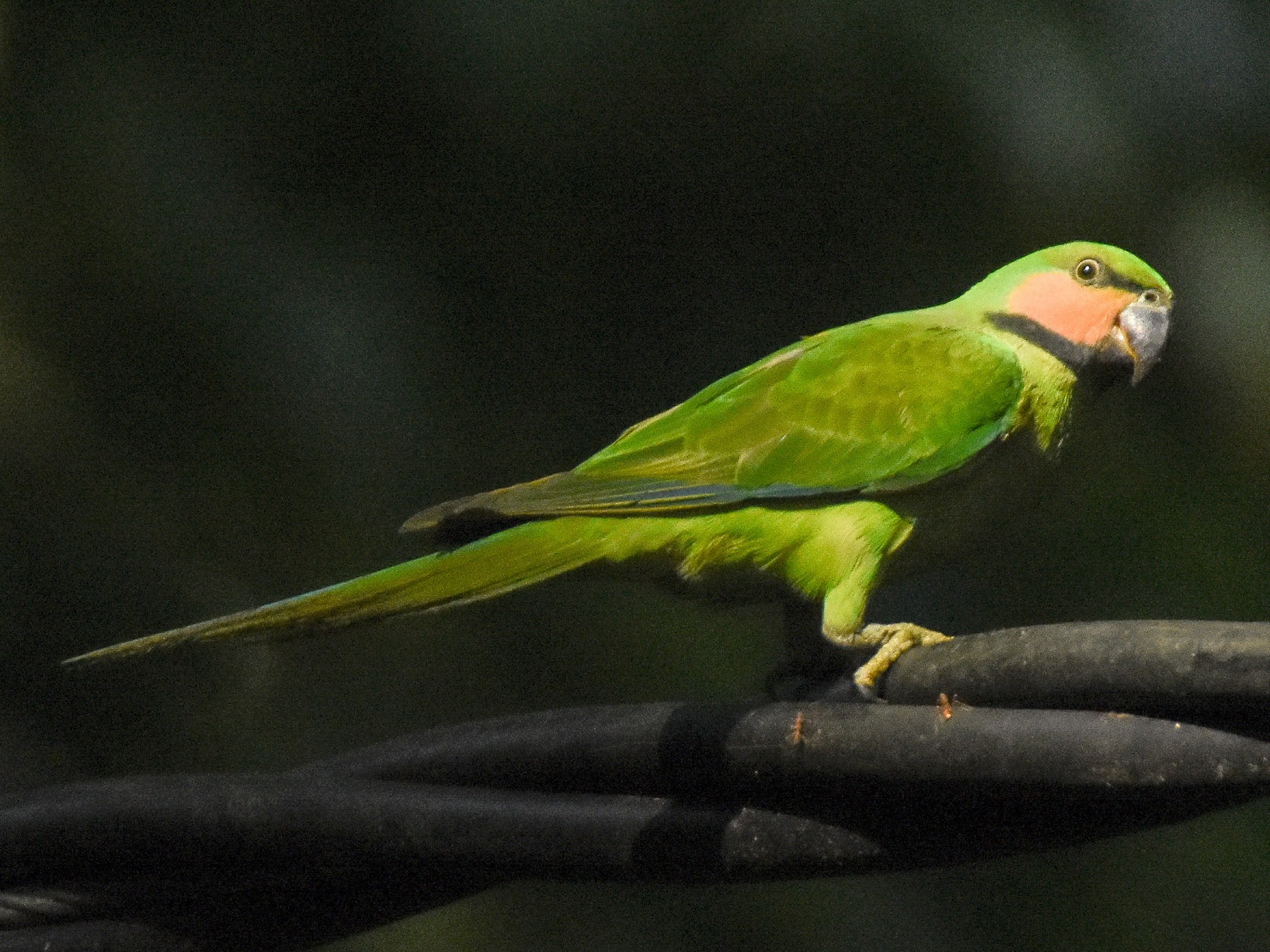 Long-tailed Parakeet - Daniele Mitchell