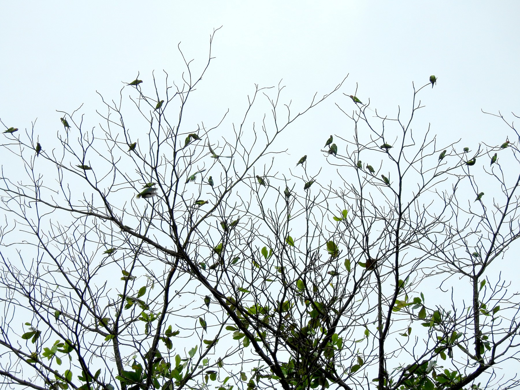 Long-tailed Parakeet - Anonymous eBirder