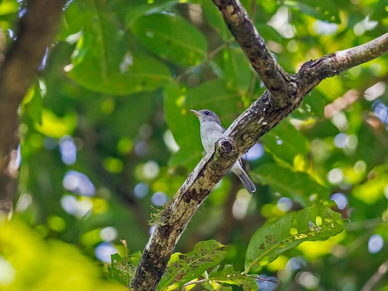 Mangrove Whistler - Yogish Holla