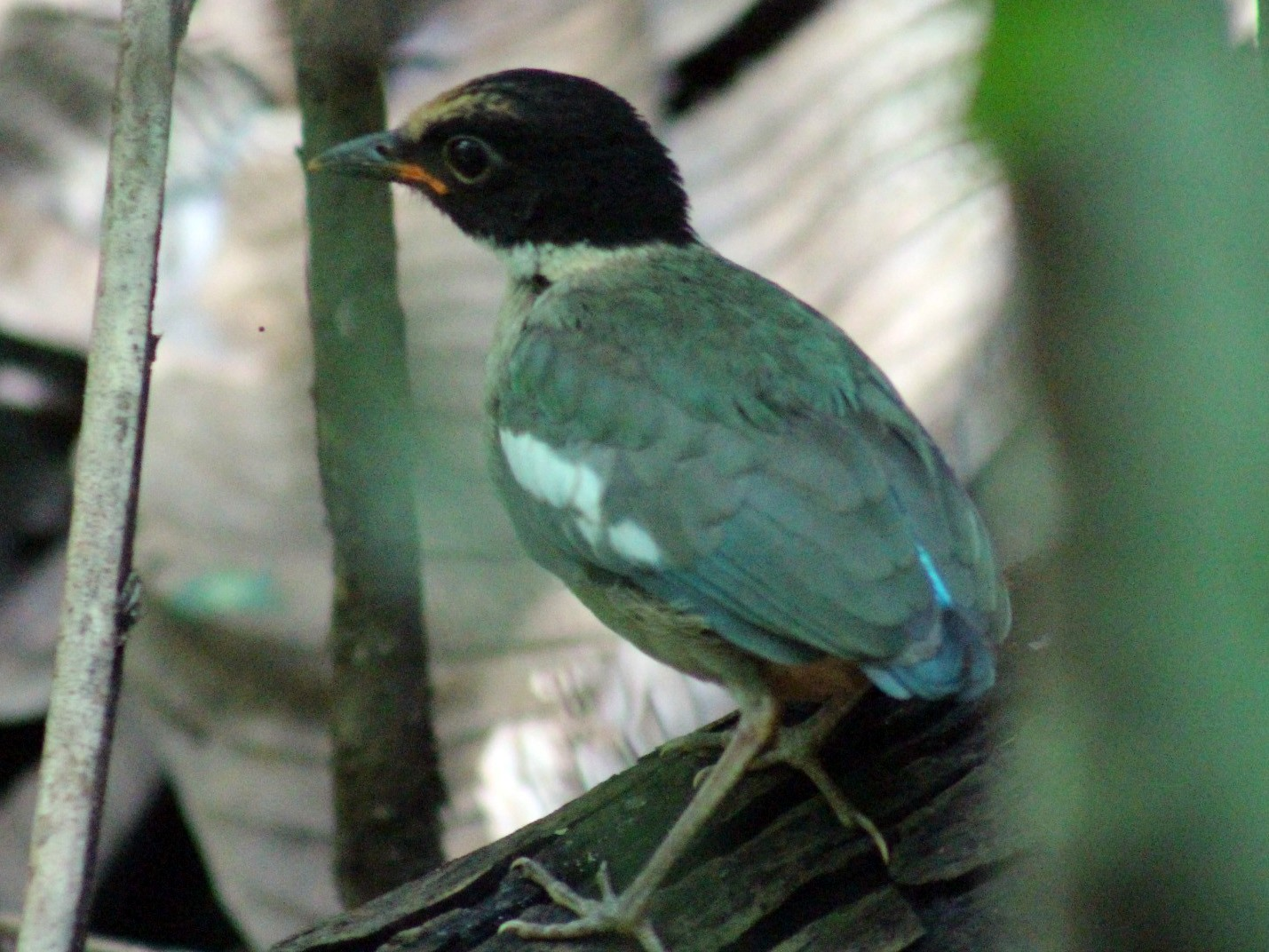 Hooded Pitta - Nathan O'Reilly