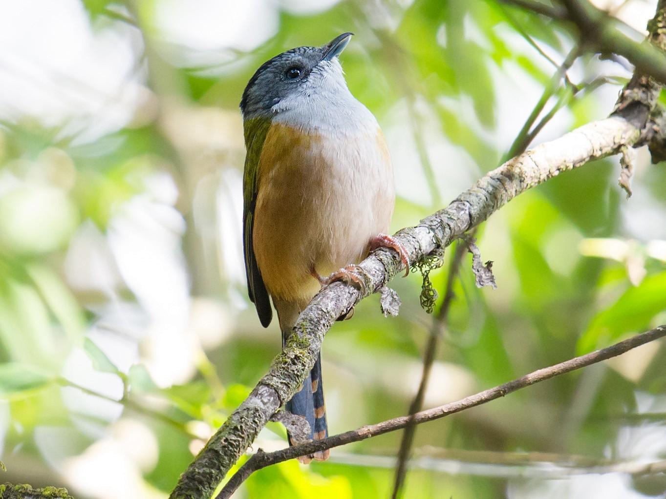 Black-headed Shrike-Babbler - Craig Brelsford