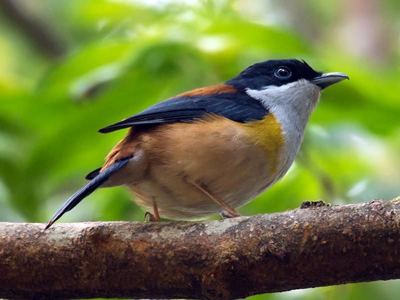 Black-headed Shrike-Babbler - Wich'yanan Limparungpatthanakij