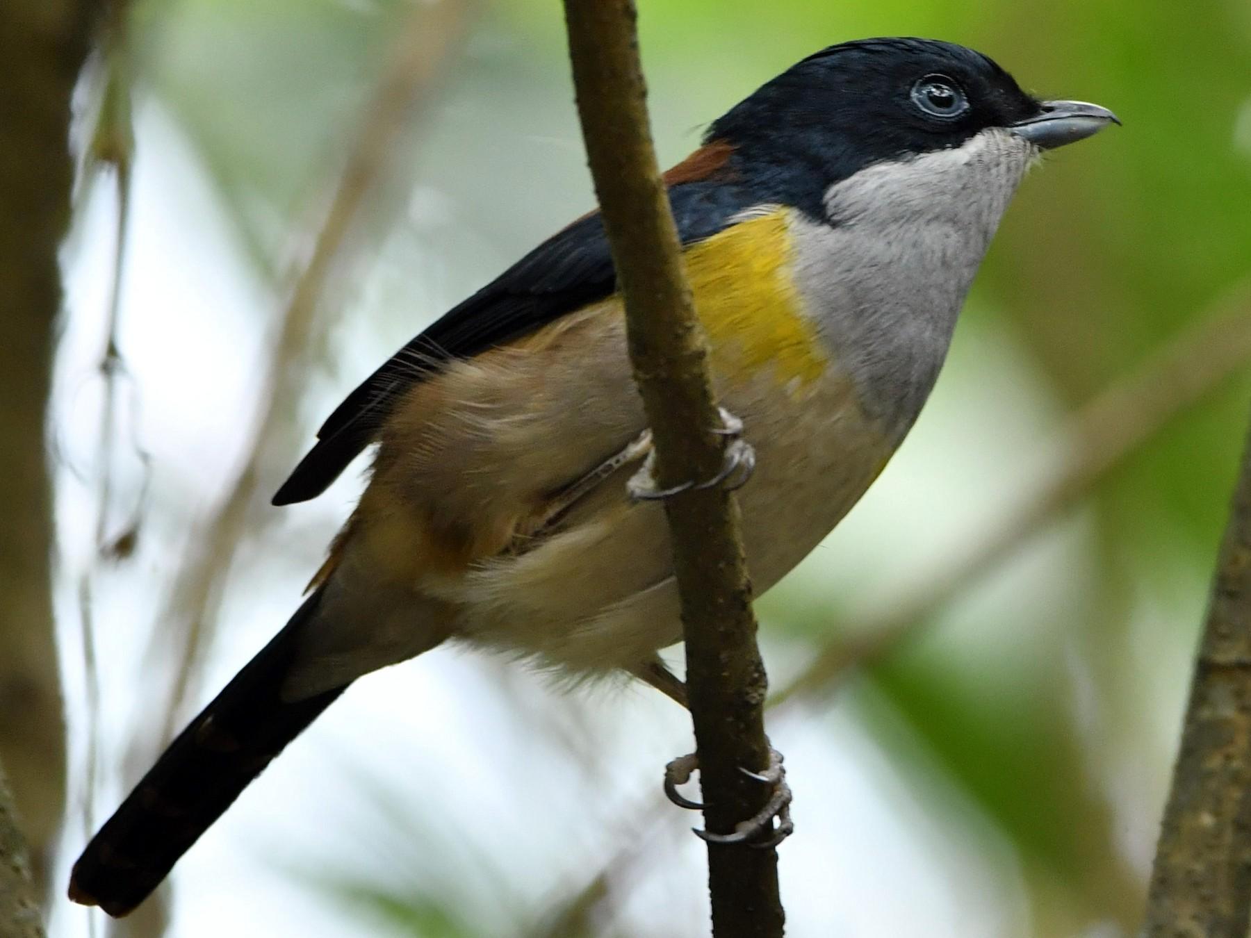 Black-headed Shrike-Babbler - Vinoba Anand