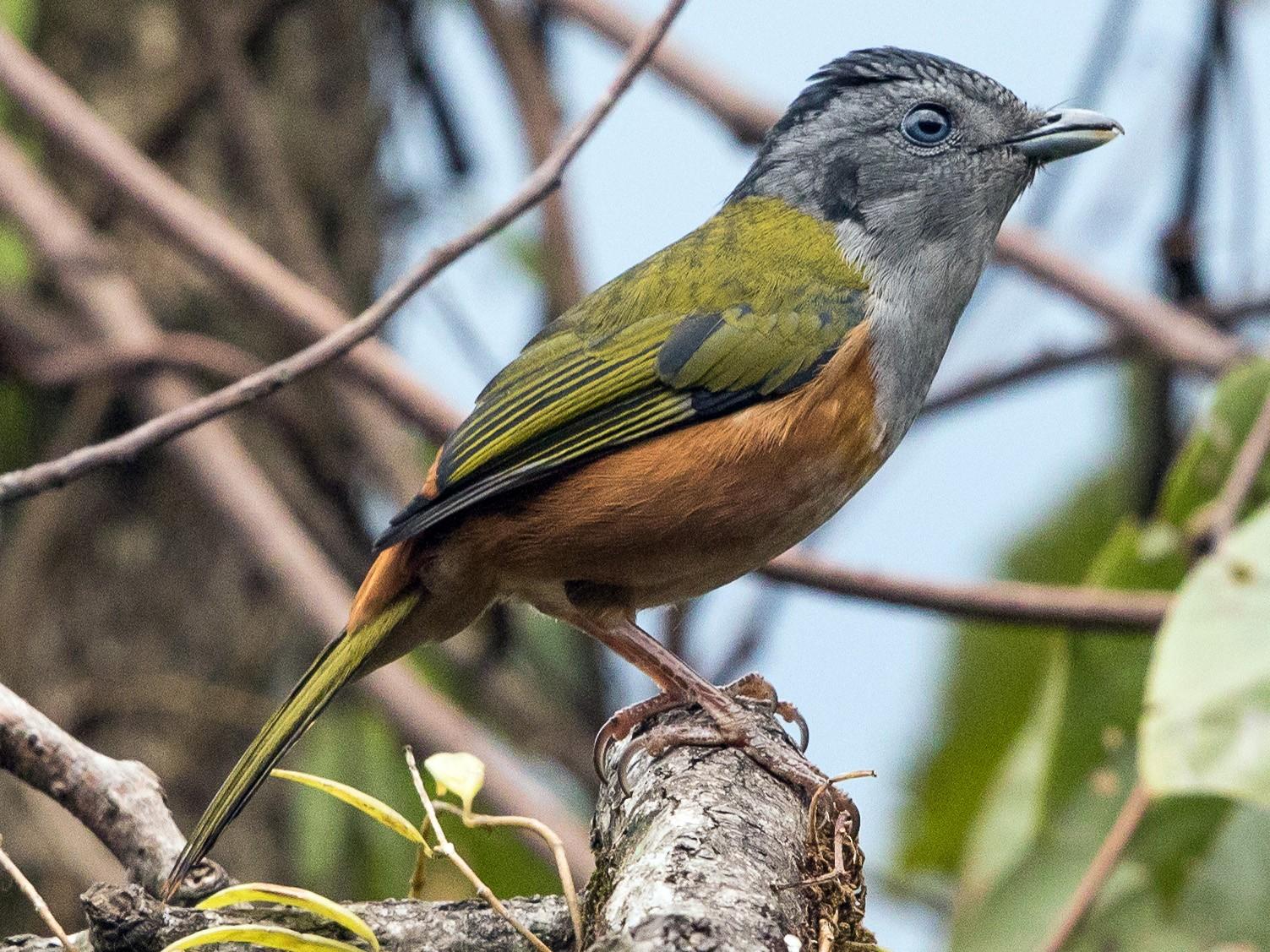 Black-headed Shrike-Babbler - Stefan  Hirsch