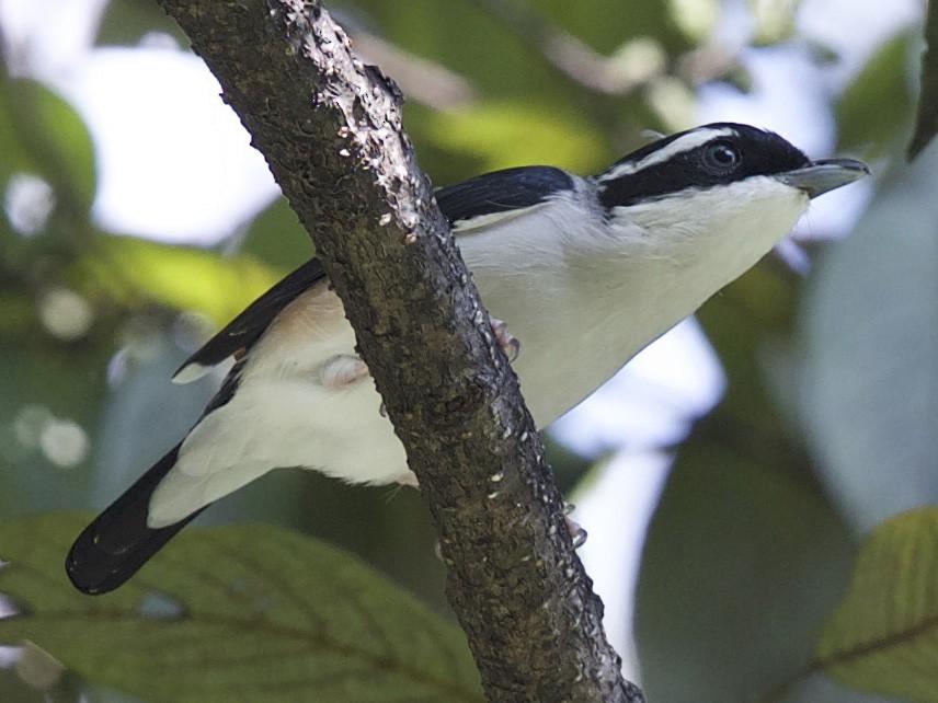 Himalayan Shrike-Babbler - jaya samkutty