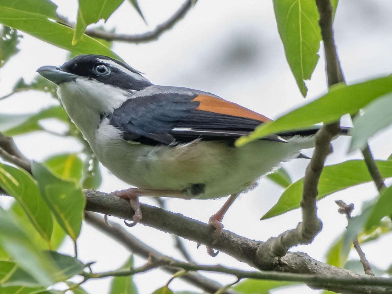 Himalayan Shrike-Babbler - Balaji P B