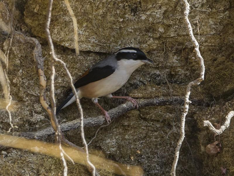 Himalayan Shrike-Babbler - Soar Excursions