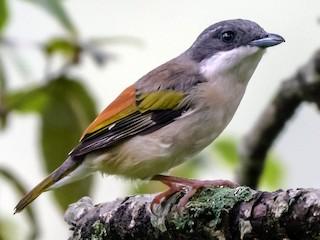 - Himalayan Shrike-Babbler
