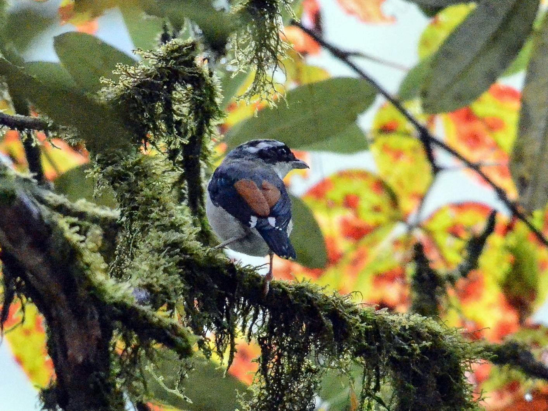 Himalayan Shrike-Babbler - Nikolaj Mølgaard Thomsen
