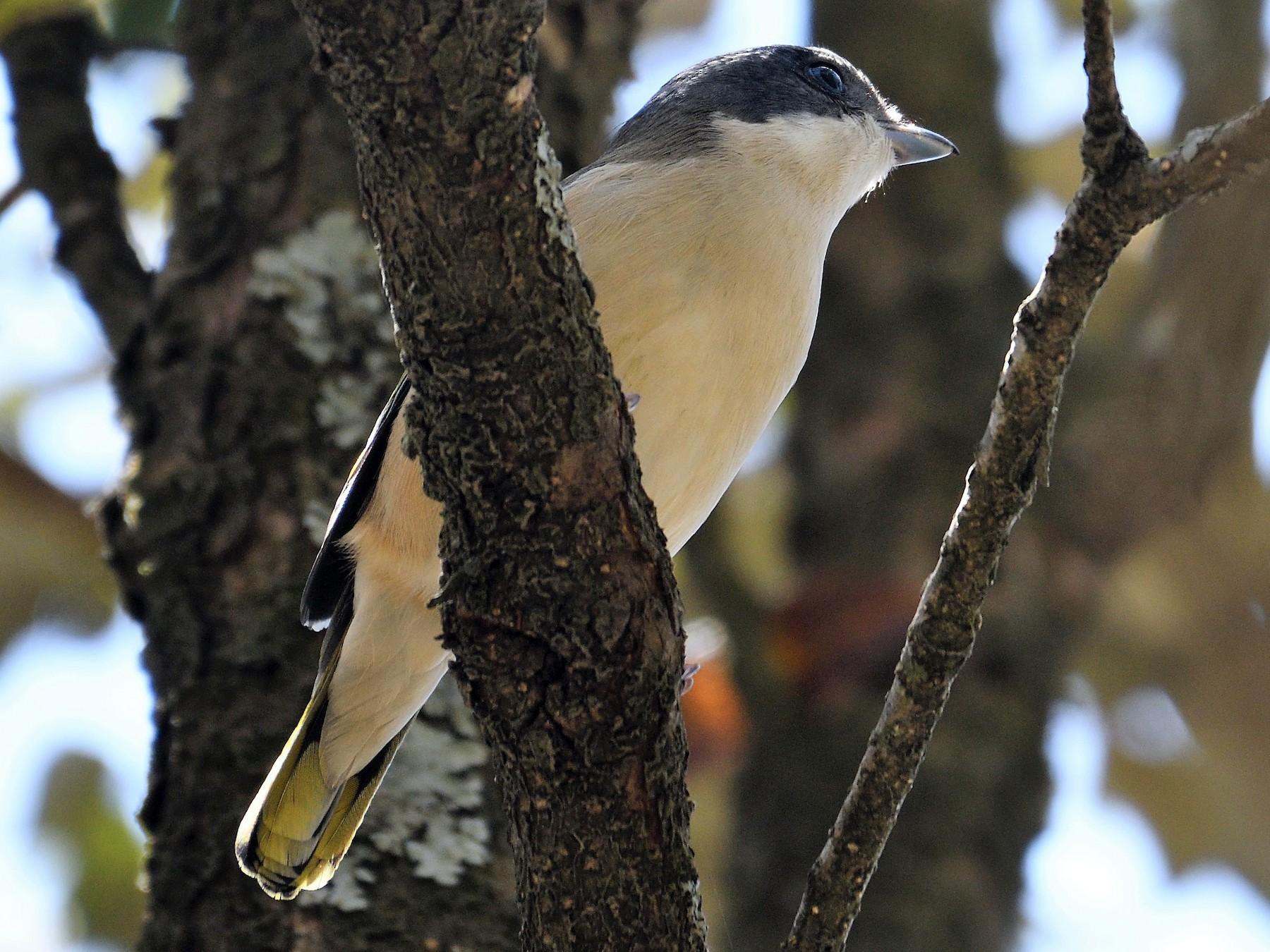 Himalayan Shrike-Babbler - VIJAY S
