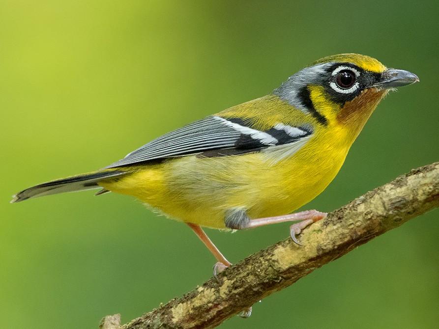 Black-eared Shrike-Babbler - Ayuwat Jearwattanakanok