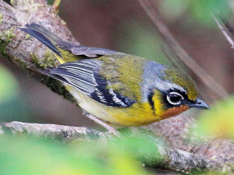 Black-eared Shrike-Babbler - Neoh Hor Kee