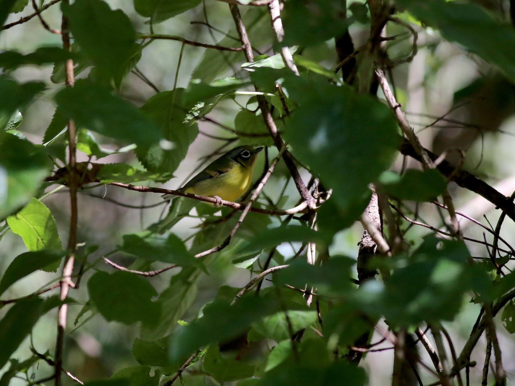 Black-eared Shrike-Babbler - Peter Hosner