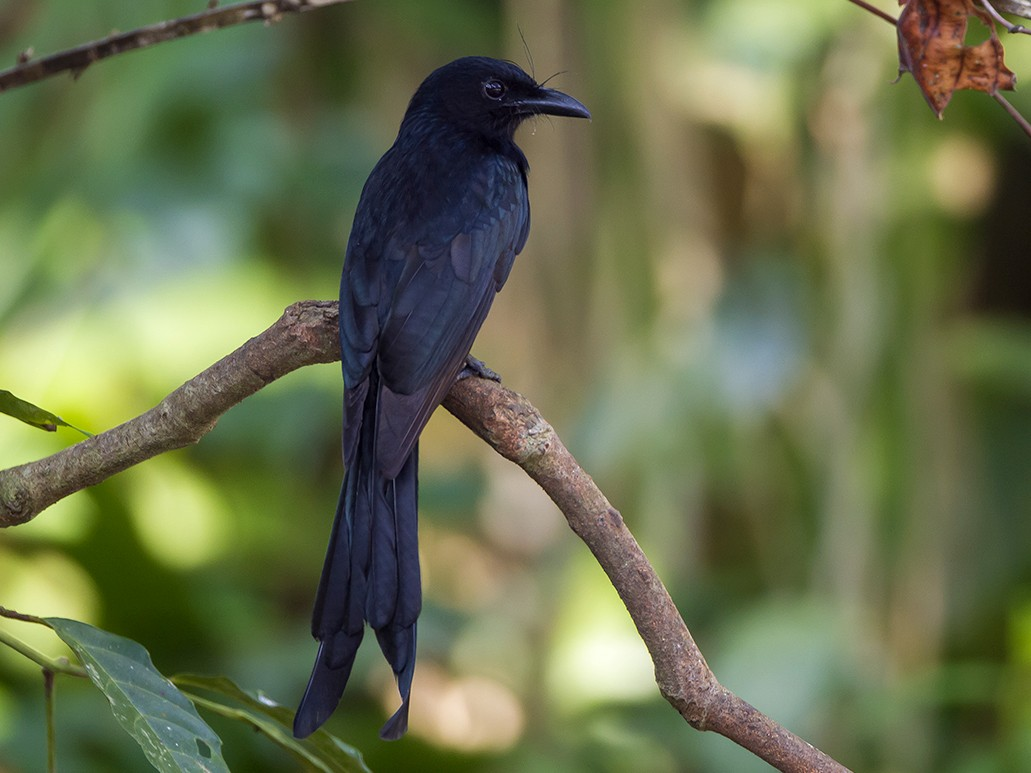 Andaman Drongo - Soar Excursions