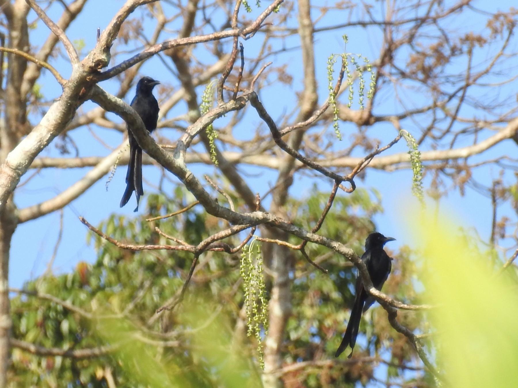 Andaman Drongo - Suhel Quader