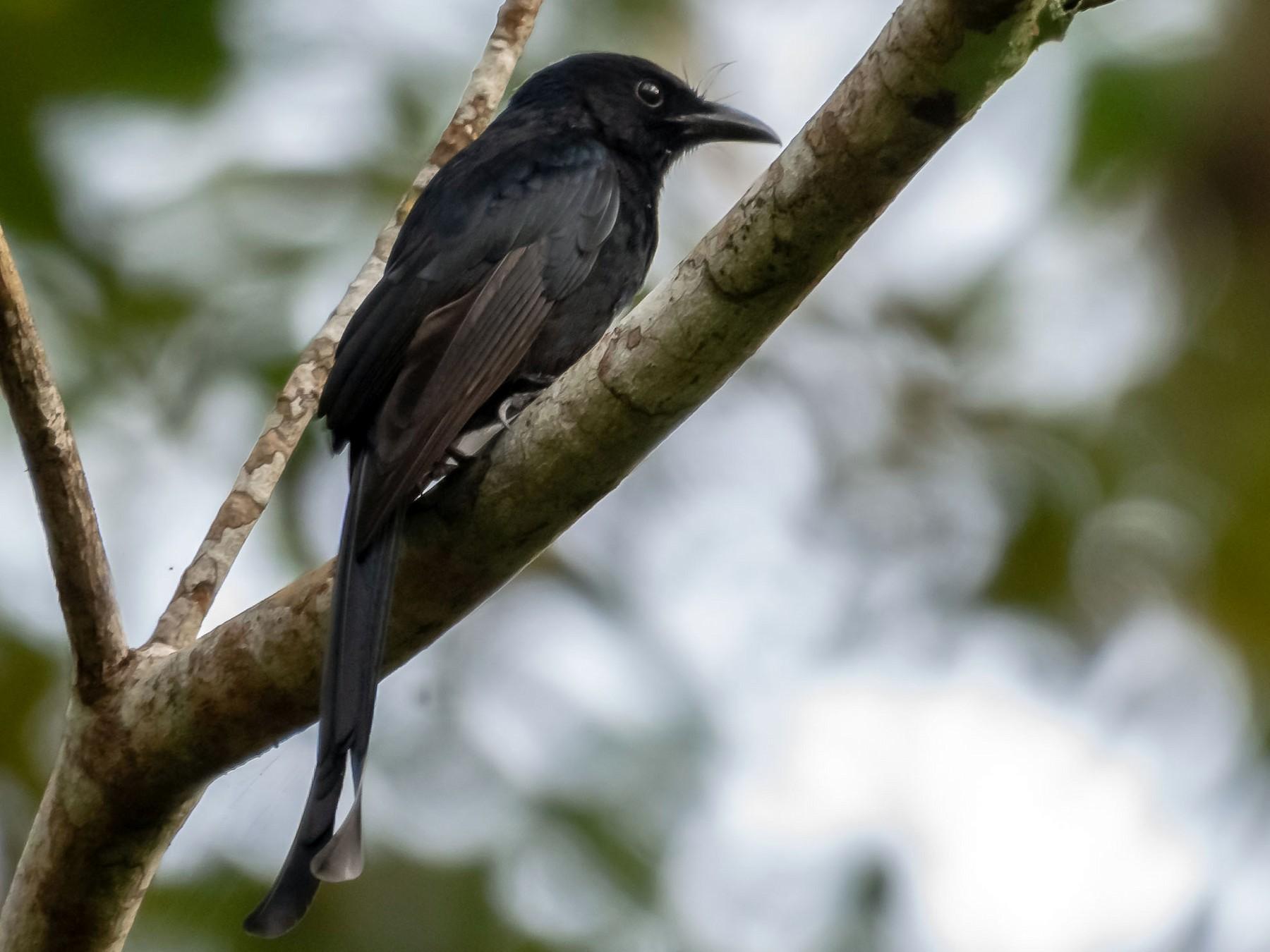 Andaman Drongo - Balaji P B