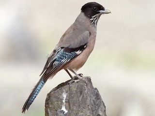 - Black-headed Jay