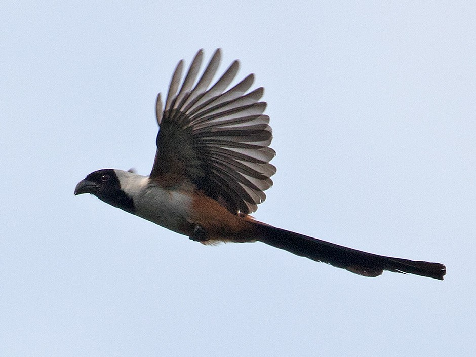Collared Treepie - Sam Woods