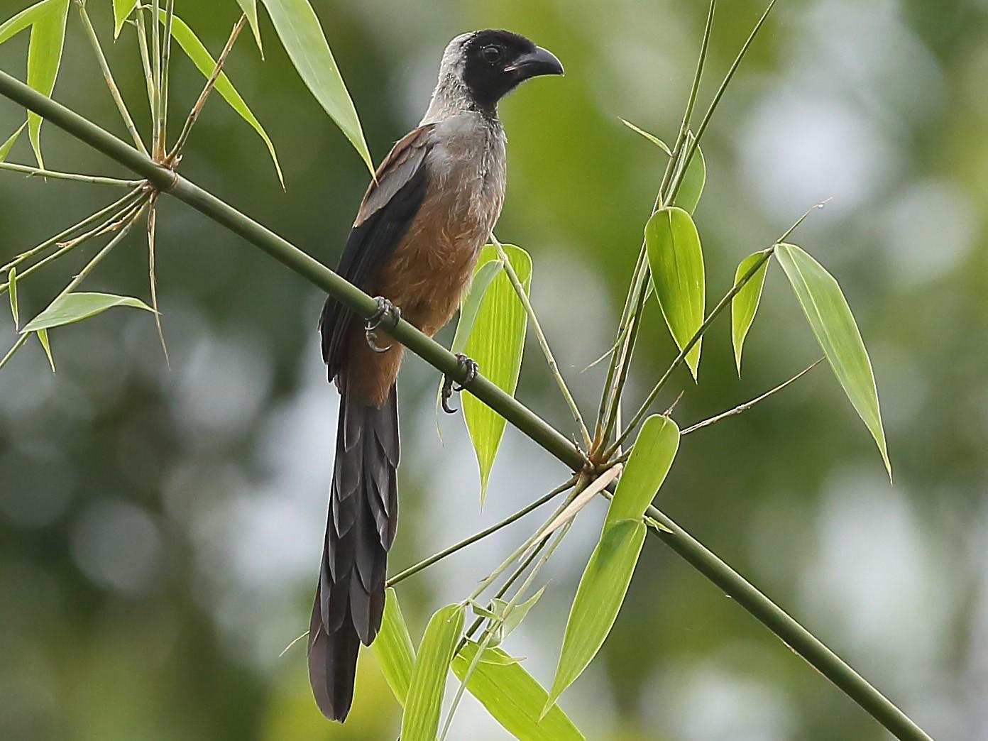 Collared Treepie - Gururaj  Moorching