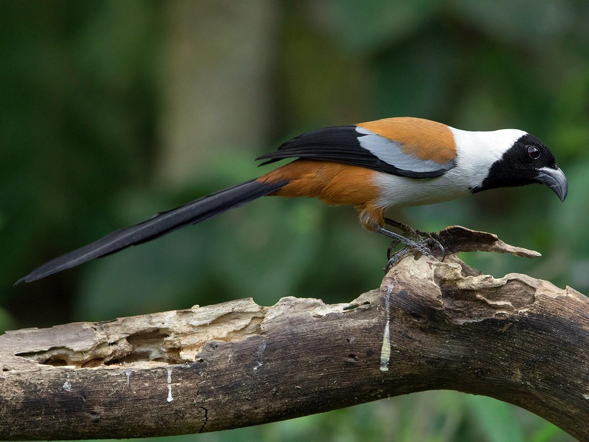 Collared Treepie - Ayuwat Jearwattanakanok