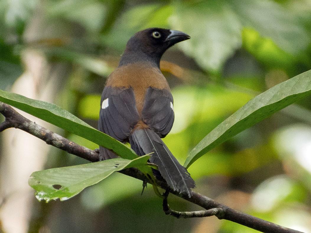 Andaman Treepie - Saurabh Sawant