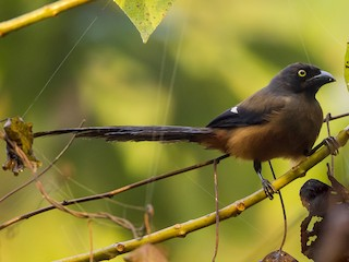 - Andaman Treepie