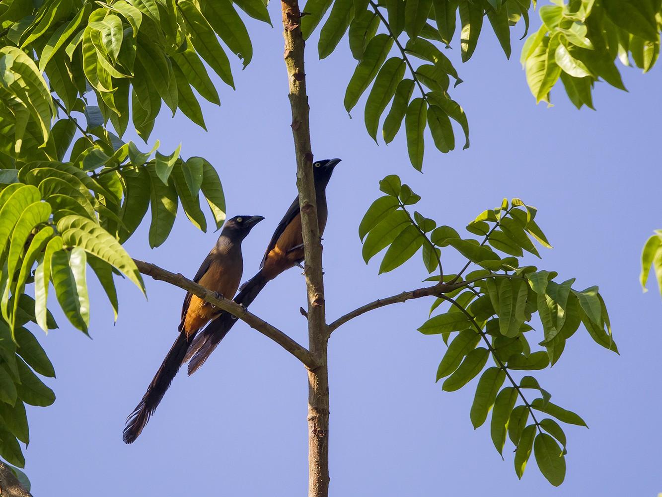 Andaman Treepie - Soar Excursions