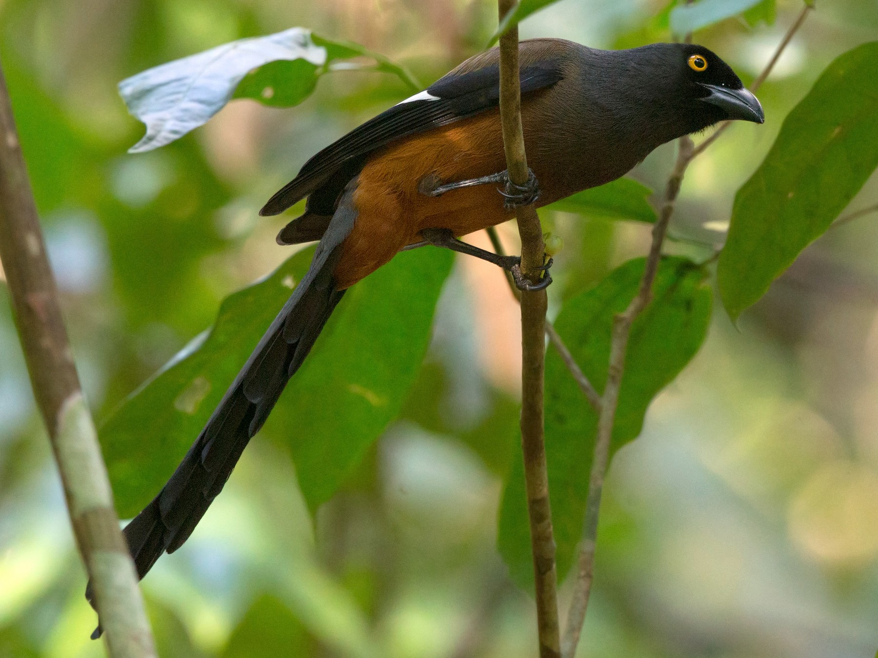 Andaman Treepie - David Irving