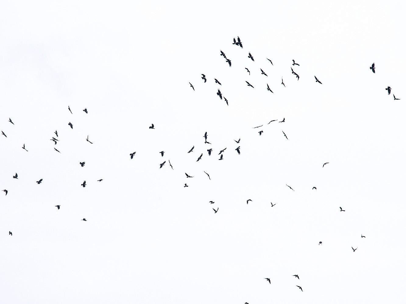 Pied Crow - Pattaraporn Vangtal