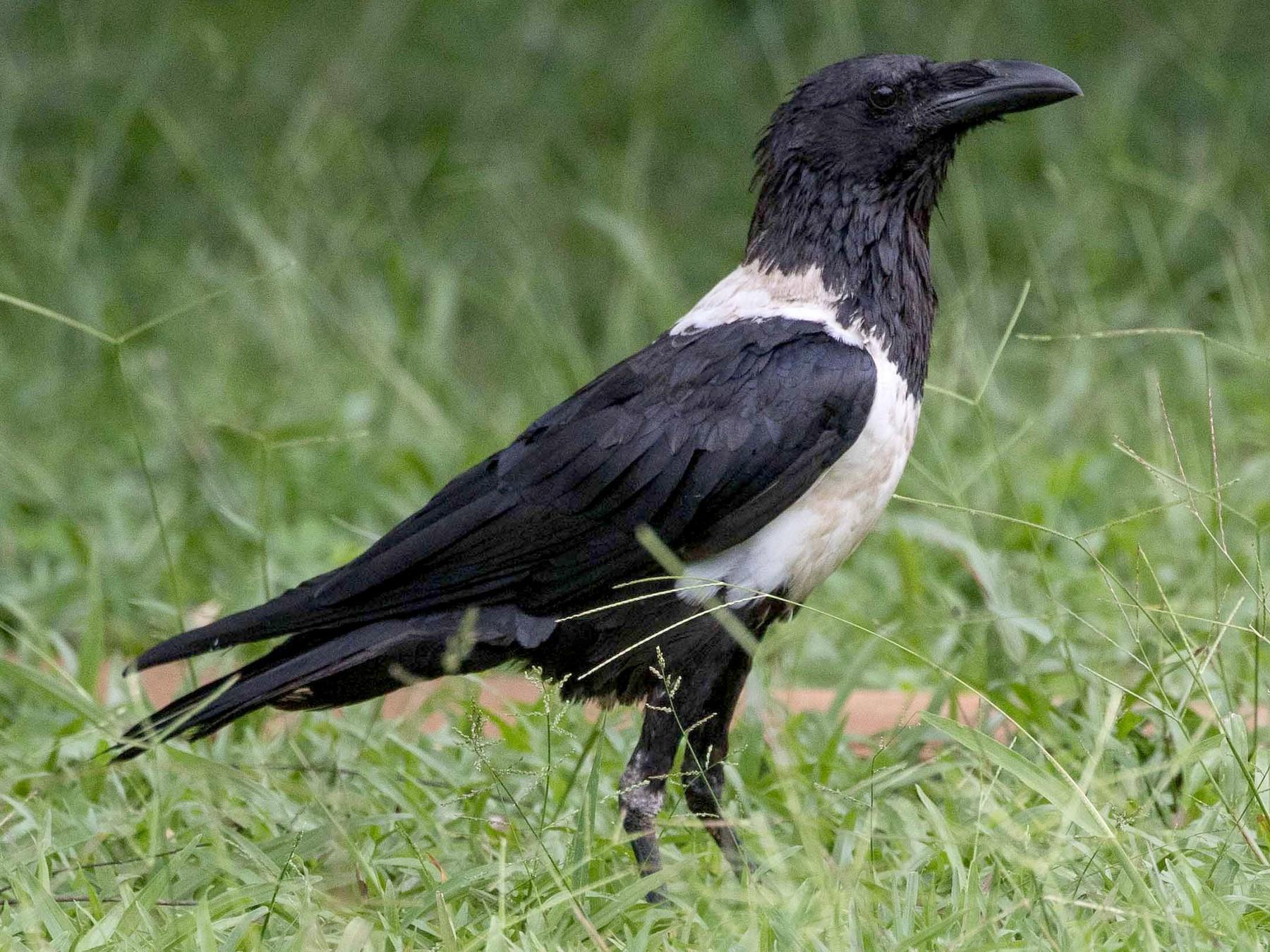 Pied Crow - Eric VanderWerf
