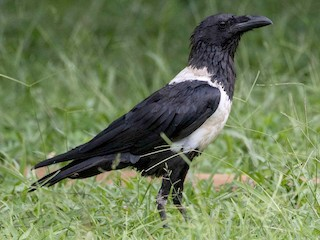 - Pied Crow