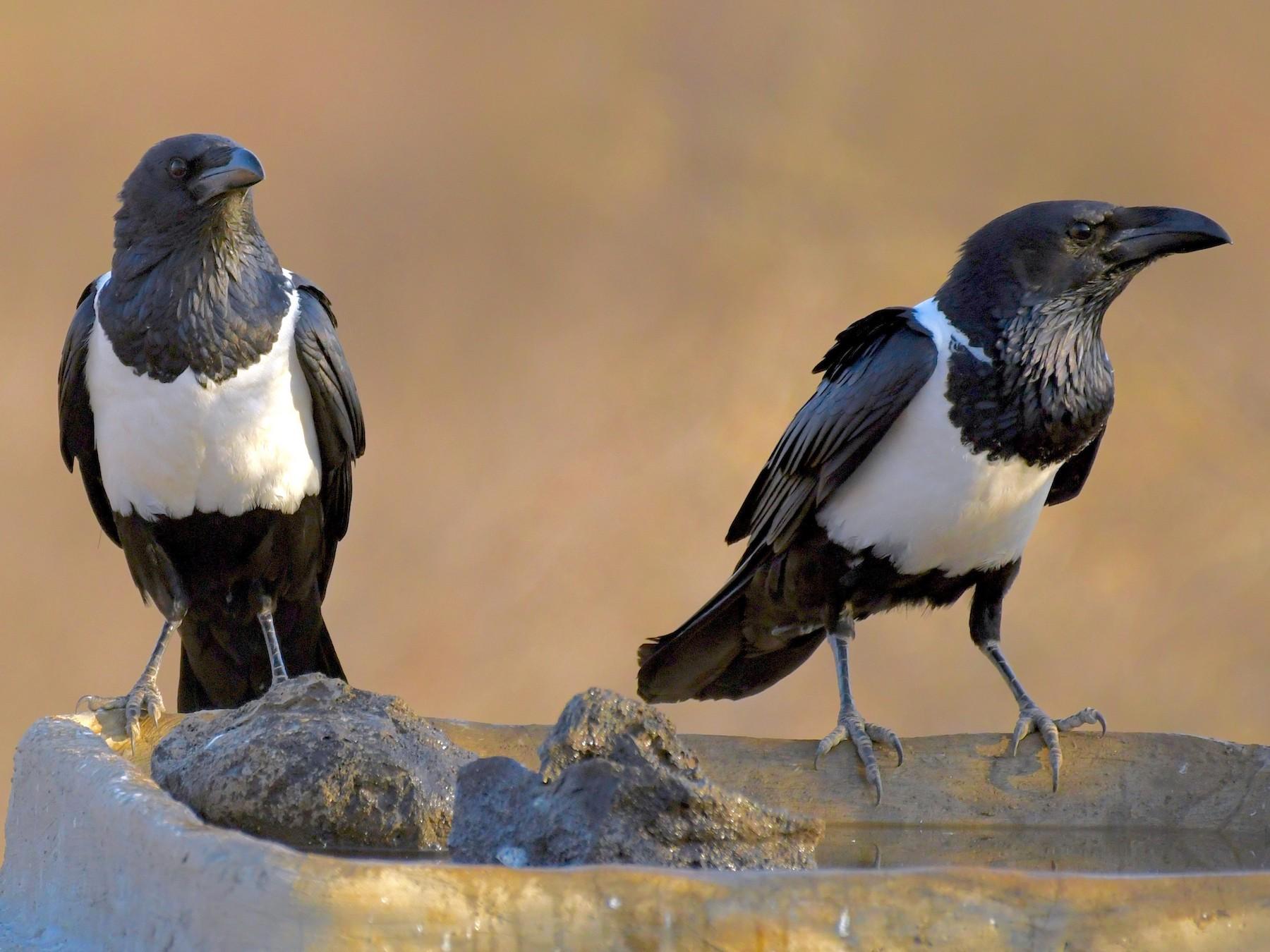 Pied Crow - Theresa Bucher