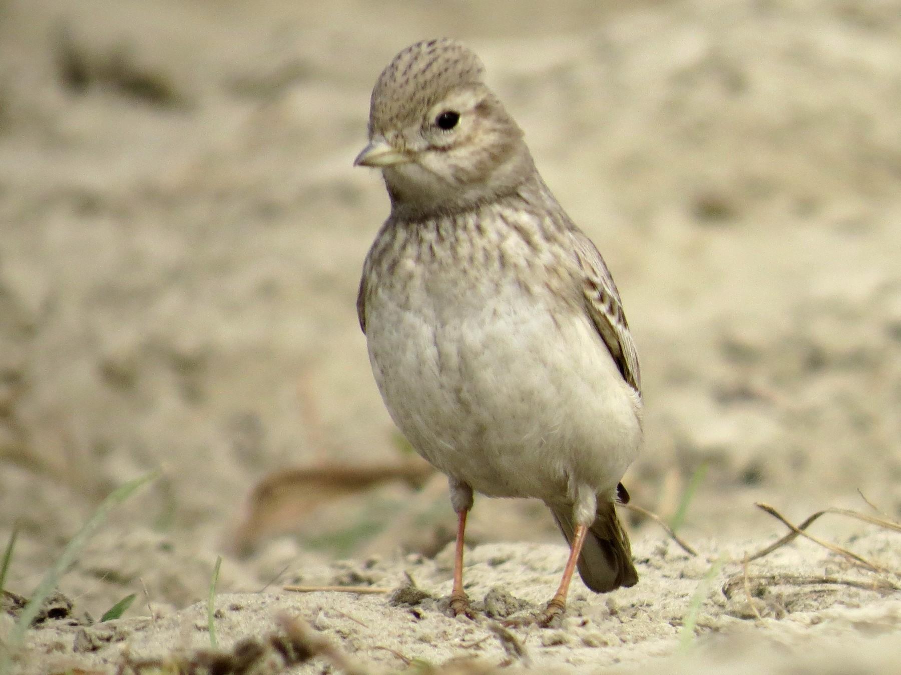 Sand Lark - Ramit Singal