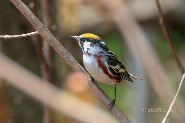 ©Brian Murphy - Chestnut-sided Warbler