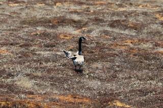 Canada Goose, ML162053801