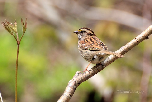 © Brian Murphy - White-throated Sparrow