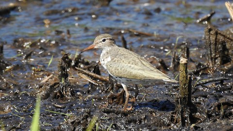 Spotted Sandpiper - Keith Eric Costley