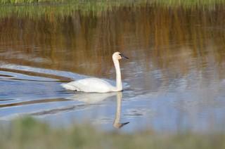 Trumpeter Swan, ML162193891