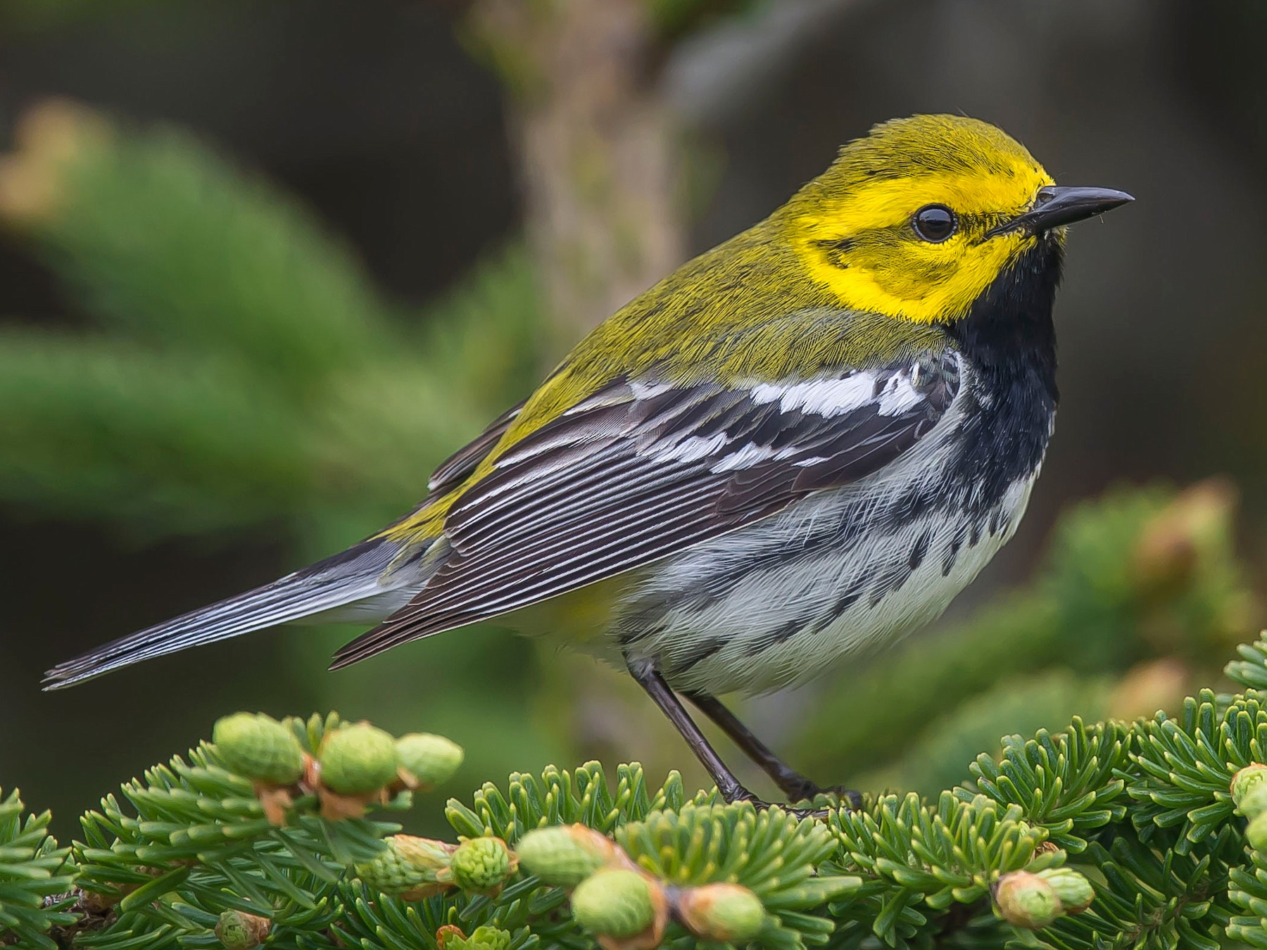 Black-throated Green Warbler - Ronnie d'Entremont