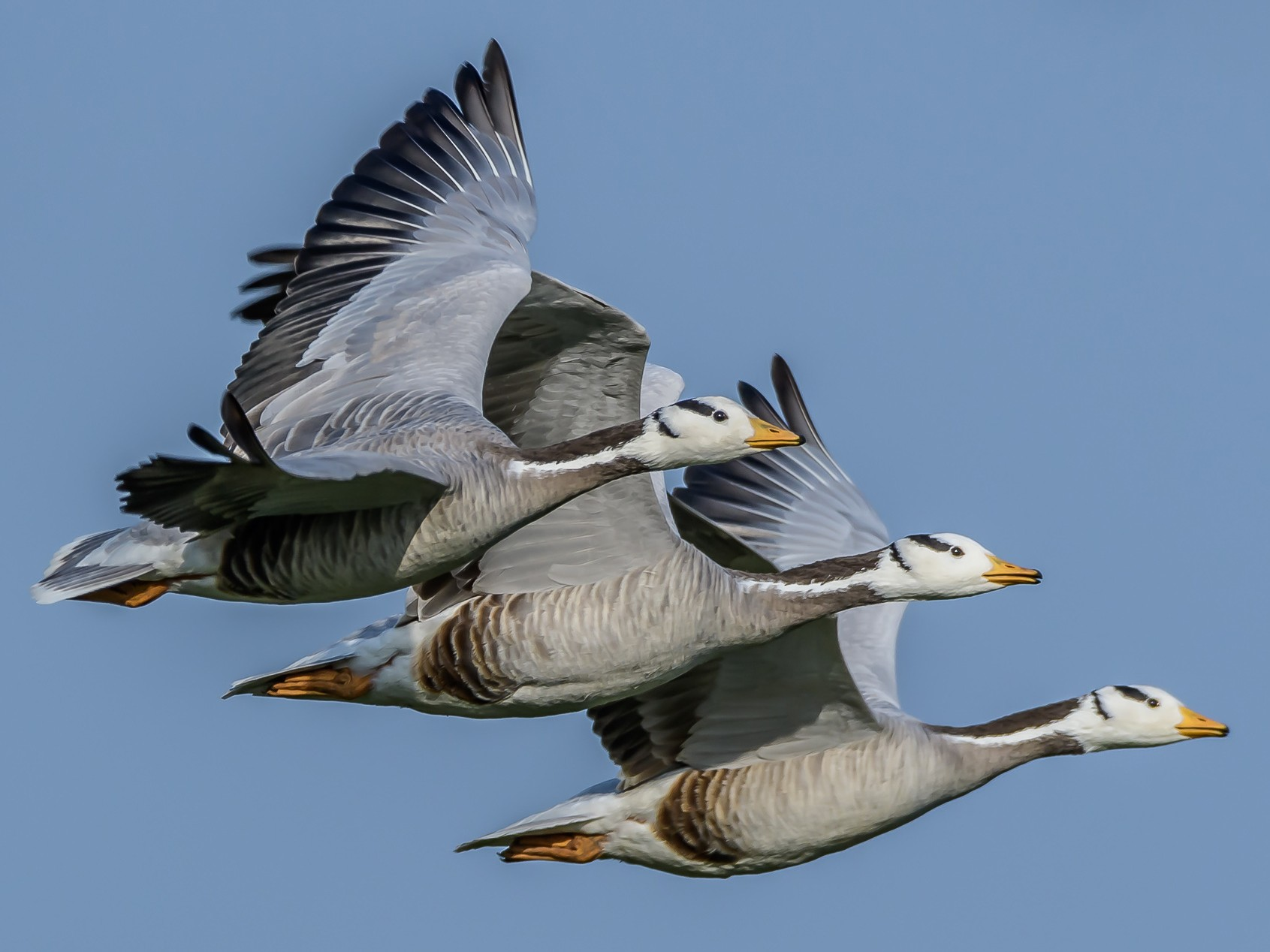 Bar-headed Goose - eBird