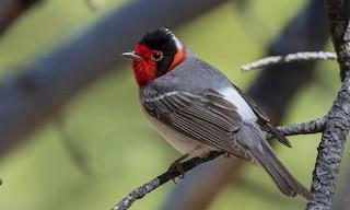 - Red-faced Warbler