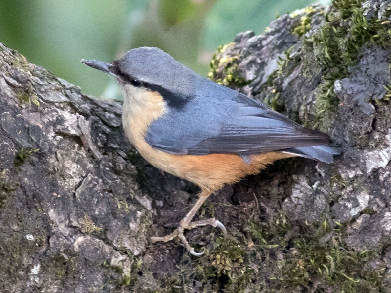 White-tailed Nuthatch - Tom Johnson