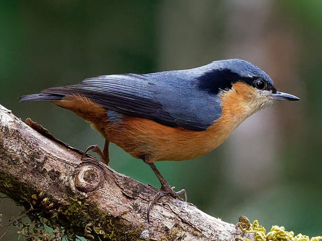 White-tailed Nuthatch - Vincent Wang