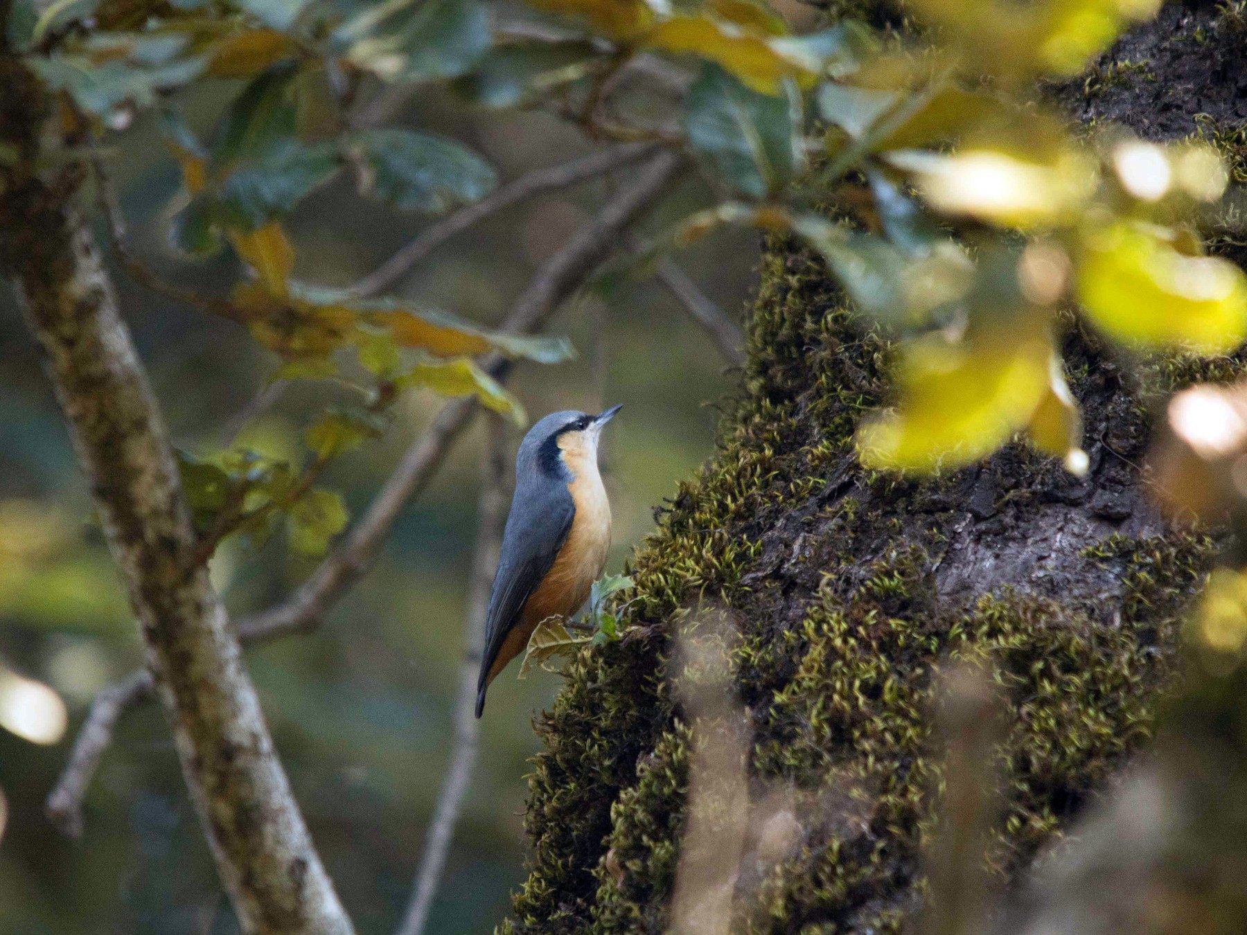 White-tailed Nuthatch - Abhijeet  Avate