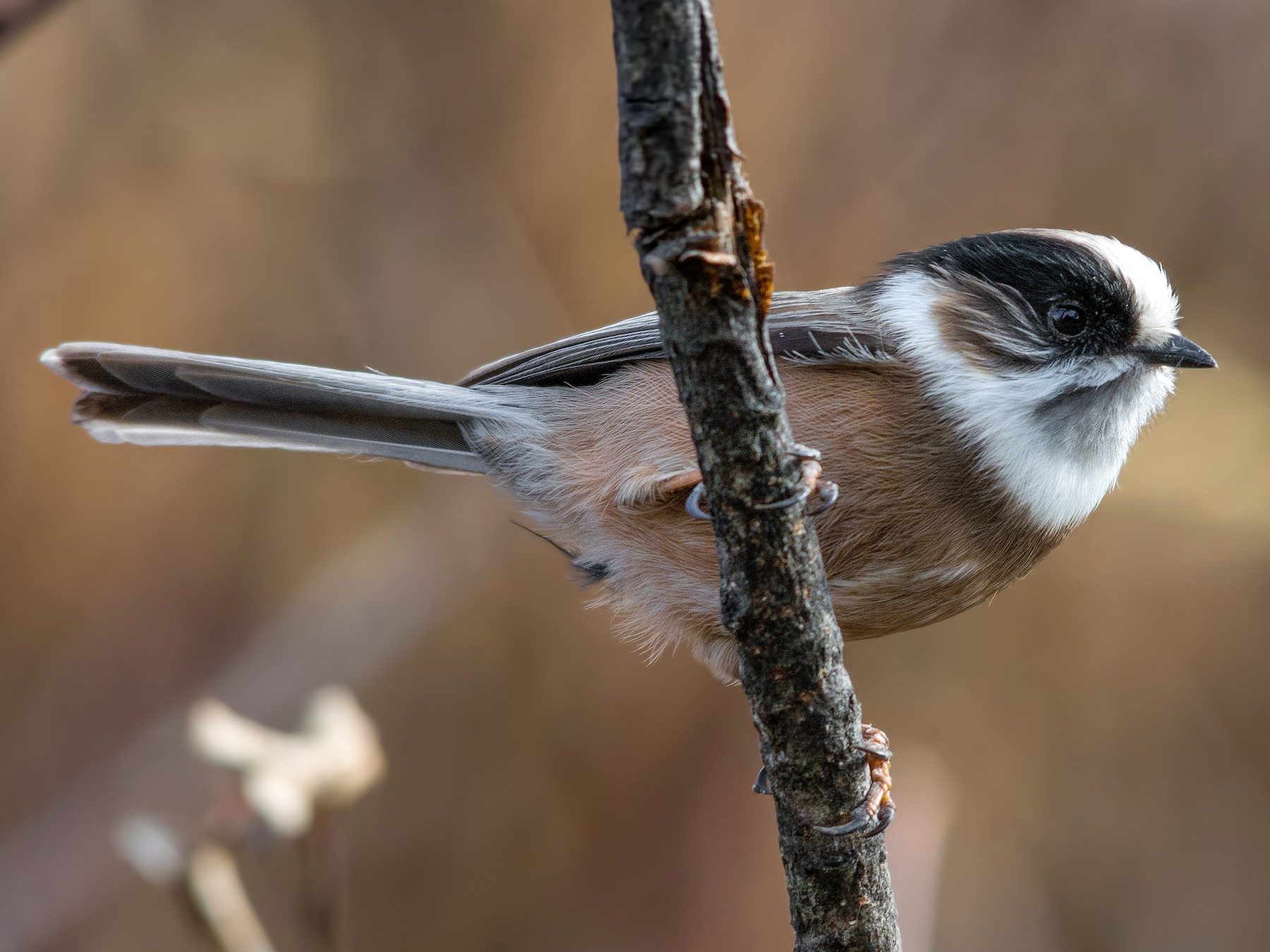 White-throated Tit - Abhishek Das
