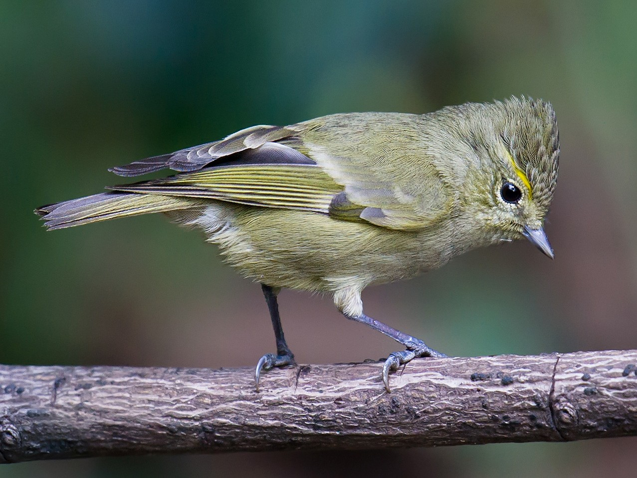 Yellow-browed Tit - Craig Brelsford